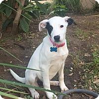 Adopt A Pet :: Scout-B - Austin, TX