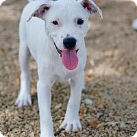 Adopt A Pet :: Echo - Spring, TX