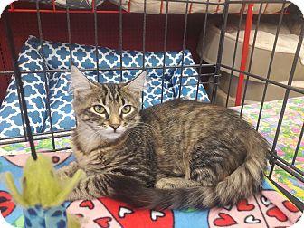 Domestic Mediumhair Kitten for adoption in Alamo, California - Sienna