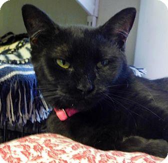 Domestic Shorthair Cat for adoption in Winston-Salem, North Carolina - Mystique