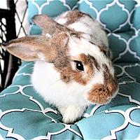 Adopt A Pet :: Goldilocks - Hillside, NJ