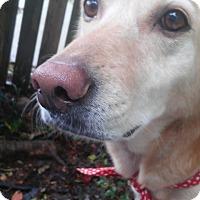 Labrador Retriever/Golden Retriever Mix Dog for adoption in Jacksonville, North Carolina - Venis