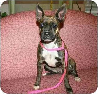 Boston Terrier Mix Dog for adoption in Muldrow, Oklahoma - Ariel