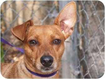 Miniature Pinscher Mix Dog for adoption in El Cajon, California - Mikey