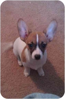 Chihuahua/Maltese Mix Puppy for adoption in Calumet City, Illinois - Bandit