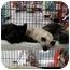 Photo 2 - Siamese Kitten for adoption in San Dimas, California - Siamese Kitten