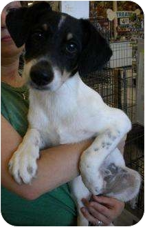 Rat Terrier/Terrier (Unknown Type, Small) Mix Dog for adoption in Humble, Texas - Roxy