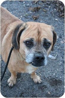 Pug/Beagle Mix Dog for adoption in Islip, New York - Herbie