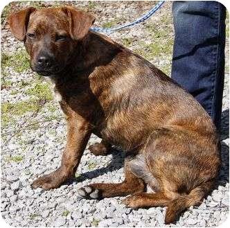 American Bulldog/Labrador Retriever Mix Dog for adoption in Spring Valley, New York - Copper