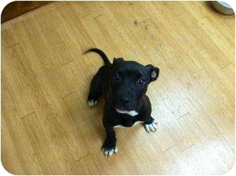 American Pit Bull Terrier Mix Puppy for adoption in WARREN, Ohio - Cooper