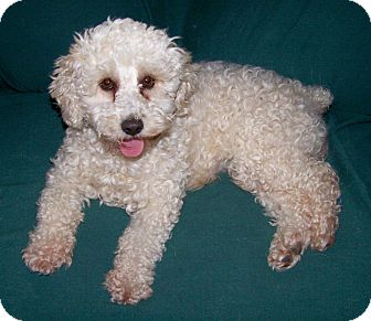 Bichon Frise Dog for adoption in San Angelo, Texas - Casey
