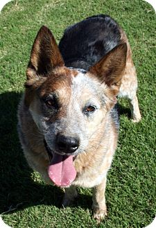 Australian Cattle Dog Dog for adoption in Patterson, California - Daisy