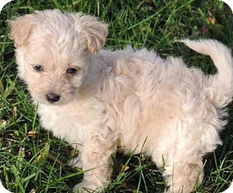 Cockapoo/Poodle (Toy or Tea Cup) Mix Puppy for adoption in La Habra Heights, California - Wiley