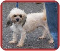 Maltese/Poodle (Miniature) Mix Dog for adoption in Brattleboro, Vermont - Lexi