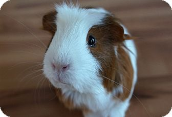 Guinea Pig for adoption in Brooklyn Park, Minnesota - Ruby