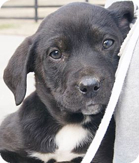 Labrador Retriever Mix Puppy for adoption in Chapel Hill, North Carolina - Scout