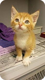 American Shorthair Kitten for adoption in Albertville, Alabama - Dexter
