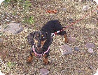 Dachshund Dog for adoption in Chandler, Arizona - Heidi
