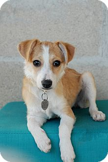 Spaniel (Unknown Type)/Chihuahua Mix Puppy for adoption in Los Angeles, California - Paisley