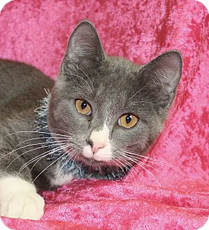 Domestic Shorthair Cat for adoption in Jackson, Michigan - Cacvin