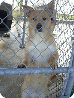 Cairn Terrier Mix Dog for adoption in Cleveland, Mississippi - Romeo