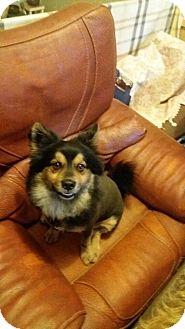 Finnish Lapphund Mix Dog for adoption in Oakton, Virginia - Blake