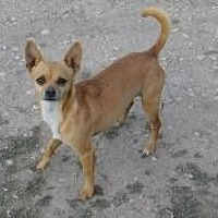 Adopt A Pet :: Chica - Pipe Creek, TX