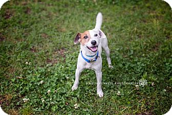 Jack Russell Terrier Mix Dog for adoption in Fayetteville, North Carolina - Skippy