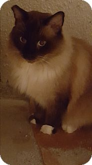 Siamese Cat for adoption in San Dimas, California - Monte