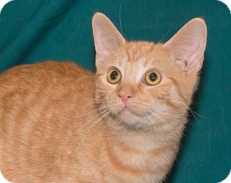 Domestic Shorthair Cat for adoption in Elmwood Park, New Jersey - Chedder