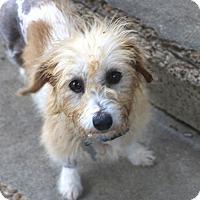 Adopt A Pet :: Sophia - Norwalk, CT
