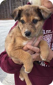 Australian Shepherd/Jack Russell Terrier Mix Puppy for adoption in Charlotte, North Carolina - Auggie