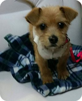 Terrier (Unknown Type, Small) Mix Puppy for adoption in LAKEWOOD, California - Jerry