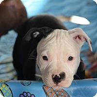 Adopt A Pet :: Vixen - Mission Viejo, CA