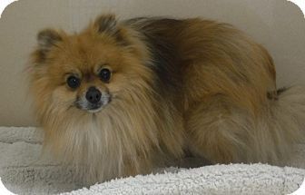 Pomeranian/Chihuahua Mix Dog for adoption in Pequot Lakes, Minnesota - Koda
