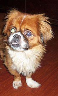 Pekingese Dog for adoption in Oakdale, Tennessee - Arlo