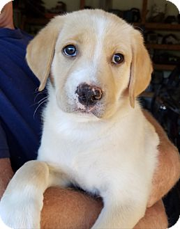 Labrador Retriever Mix Puppy for adoption in Cincinnati, Ohio - MIke