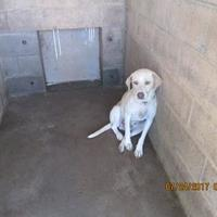 Labrador Retriever Mix Dog for adoption in Jacksboro, Texas - 36037527