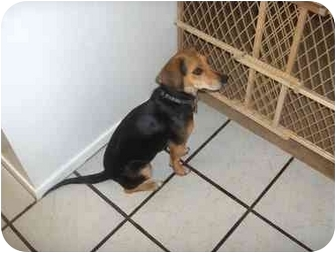 Beagle Mix Dog for adoption in Brownsville, Texas - mia