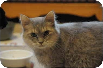 Domestic Mediumhair Cat for adoption in Marion, Wisconsin - Rona