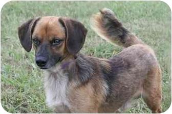Dachshund Mix Dog for adoption in Haughton, Louisiana - Scooby Doo