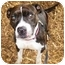Photo 4 - American Pit Bull Terrier Mix Dog for adoption in Berkeley, California - Athena