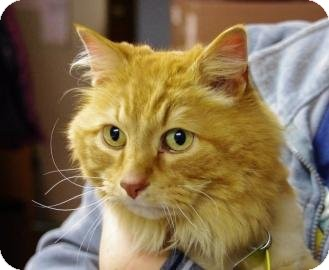 Domestic Longhair Cat for adoption in Ladysmith, Wisconsin - Puss N Boots