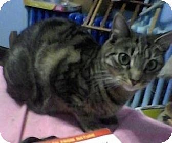 Domestic Shorthair Cat for adoption in Lindenhurst, New York - Pia
