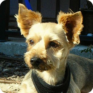 Yorkie, Yorkshire Terrier Dog for adoption in Spring Hill, Florida - Gus