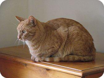Domestic Shorthair Cat for adoption in Acushnet, Massachusetts - Mikey-Courtesy Post