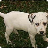 Adopt A Pet :: Lady - League City, TX