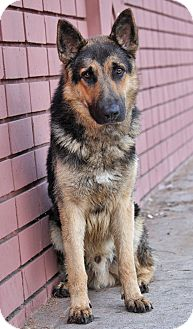 German Shepherd Dog Mix Puppy for adoption in Los Angeles, California - Dieter von Dobian