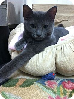 Russian Blue Kitten for adoption in Trevose, Pennsylvania - Monkey