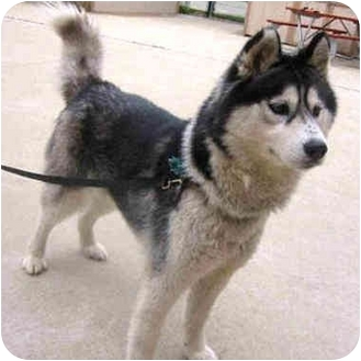 Siberian Husky Dog for adoption in Various Locations, Indiana - Sasha